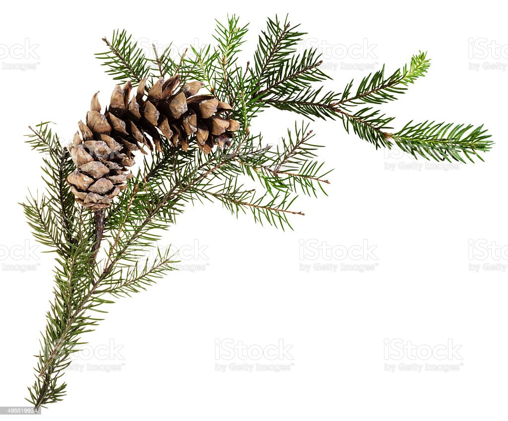 branch of spruce tree with cone on white stock photo