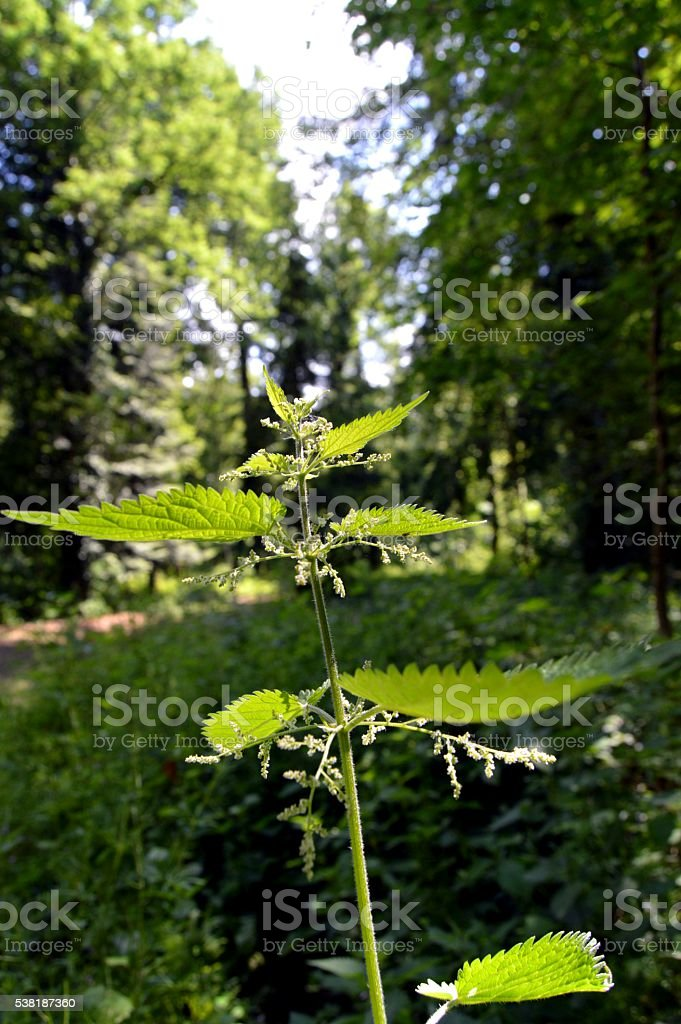 Branch of stinging nettle in flowers. stock photo