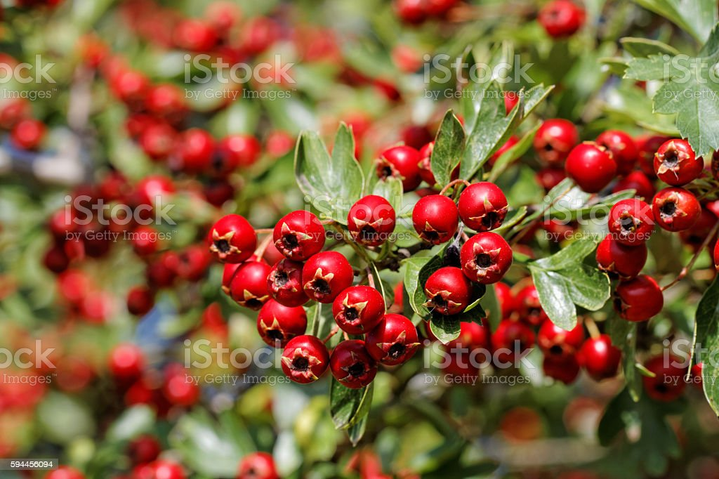 Branch Of The Hawthorn with Mature Fruits – Foto