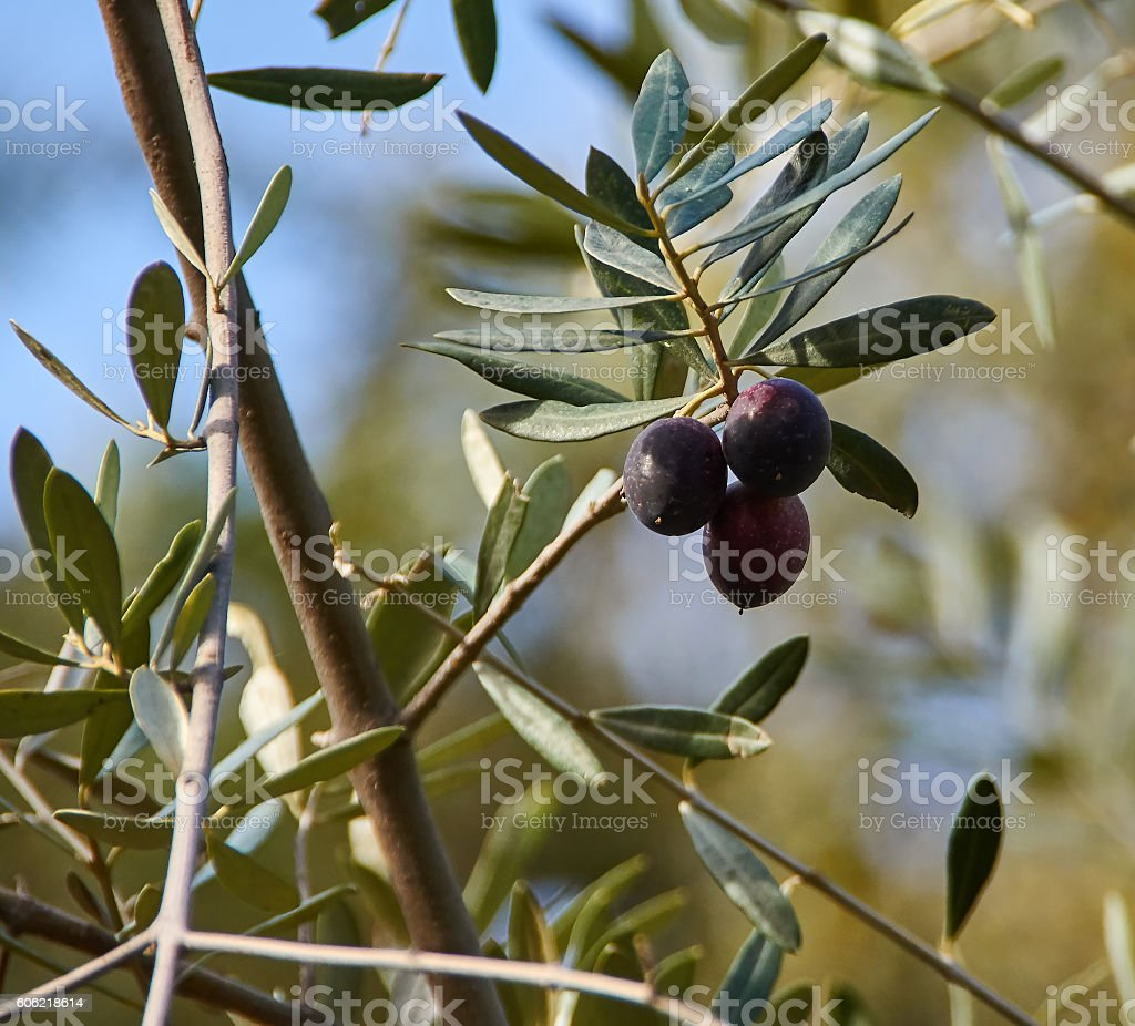Branch of the olive tree with ripe olives stock photo