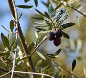 Branch of the olive tree with ripe olives
