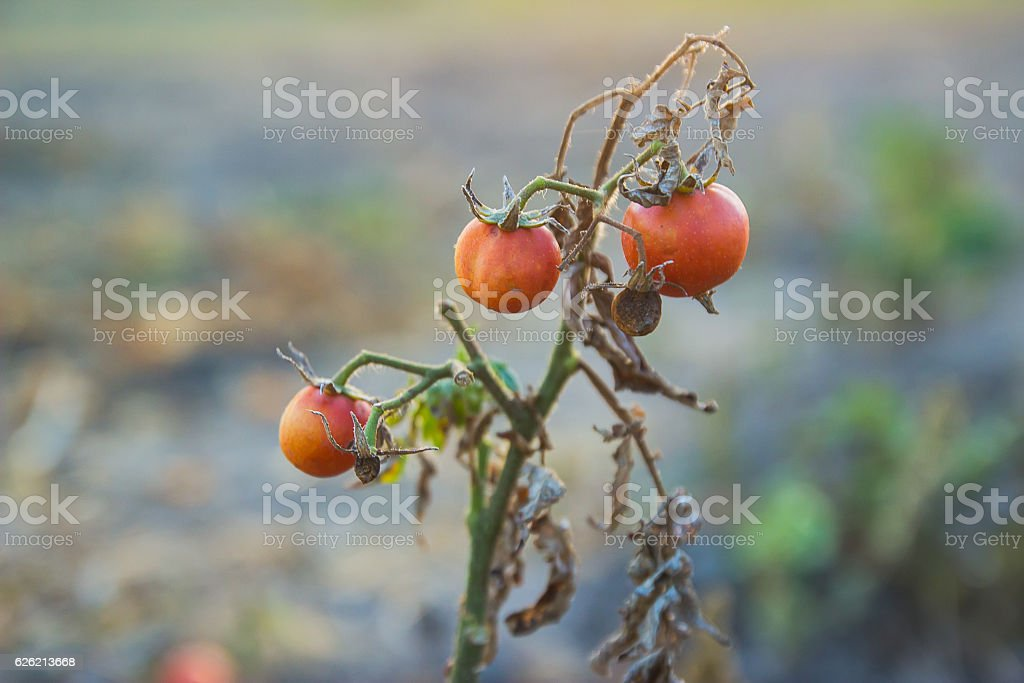 Branch of three tomato stock photo