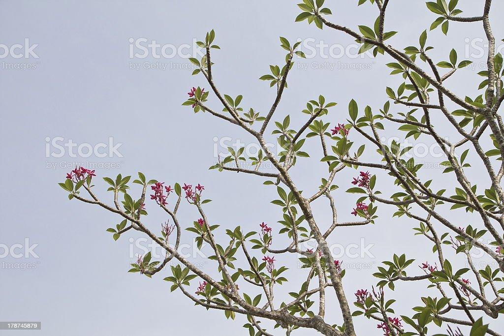 Branch of tropical flowers frangipani (plumeria) royalty-free stock photo