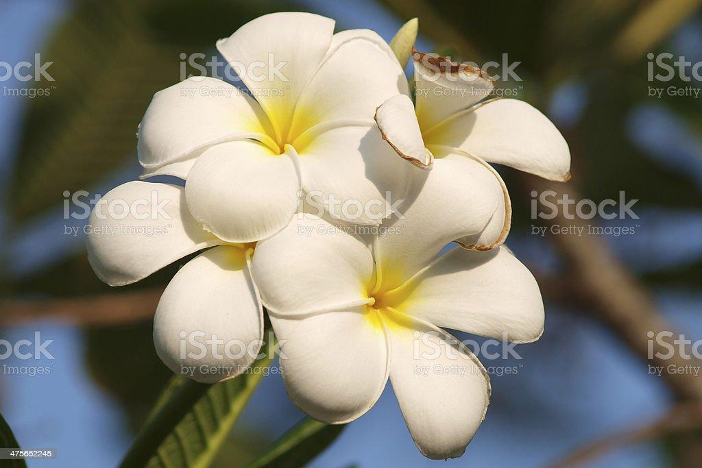 Branch of tropical flowers frangipani (plumeria) stock photo