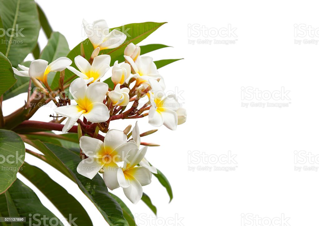 Branch of tropical white flowers. stock photo