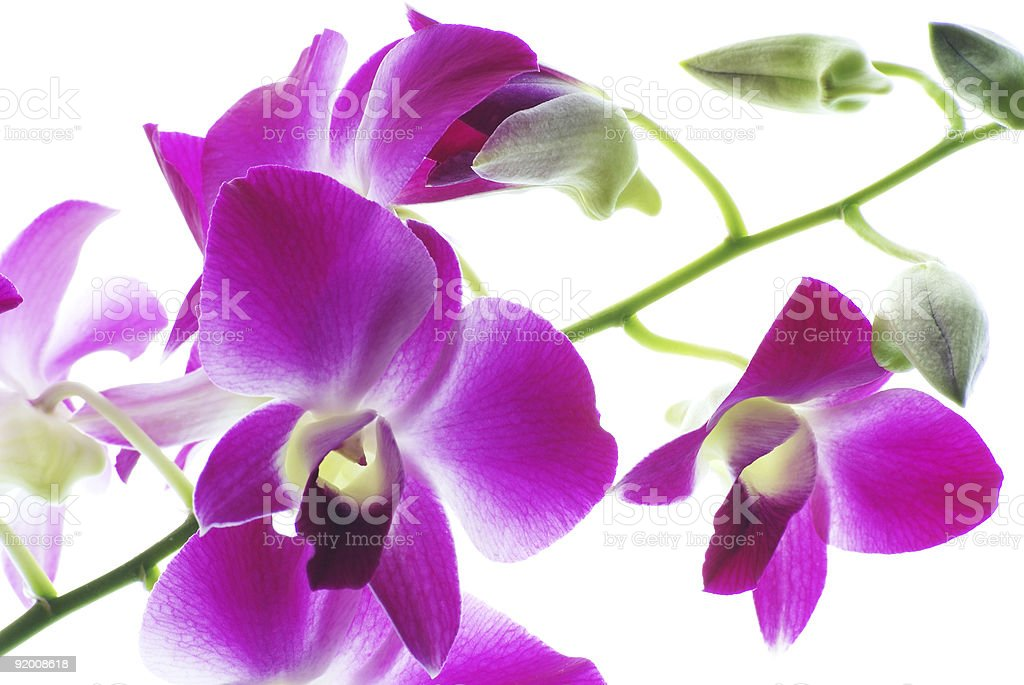 Branch of violet orchids isolated on white background royalty-free stock photo