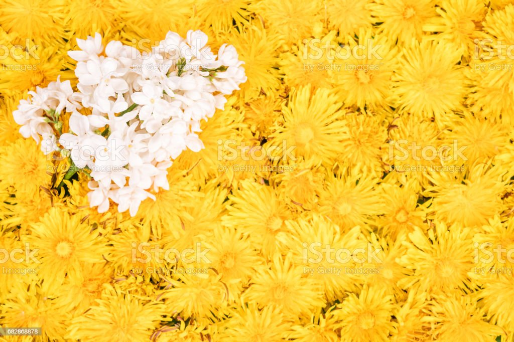 Branch of white lilac on dandelions stock photo