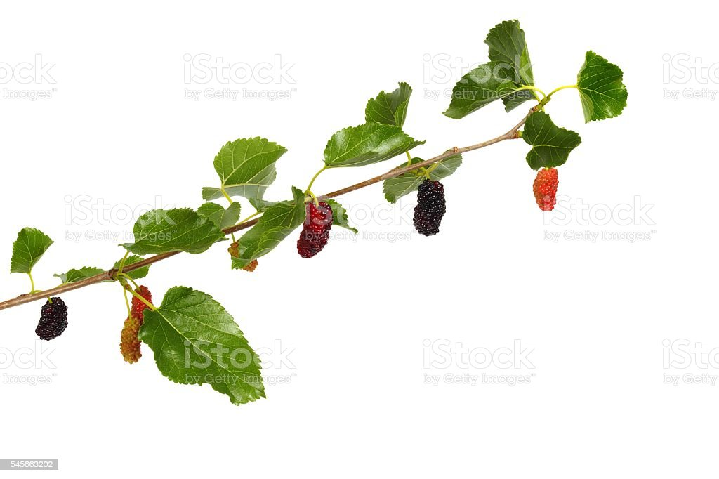 Branch of white mulberry stock photo