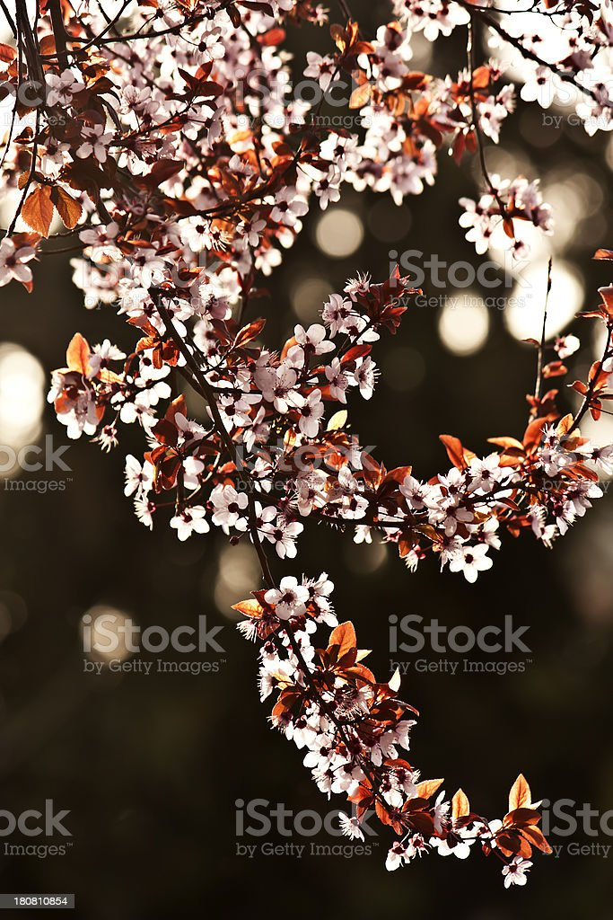branch of white ,spring time flowers stock photo
