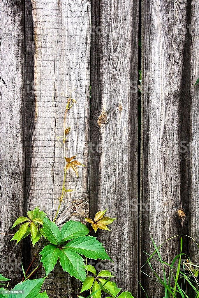 Rama de wild uvas con verde leafs en valla de madera foto de stock libre de derechos