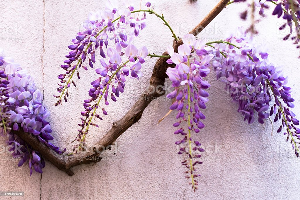 A branch of wisteria hanging on a wall  stock photo