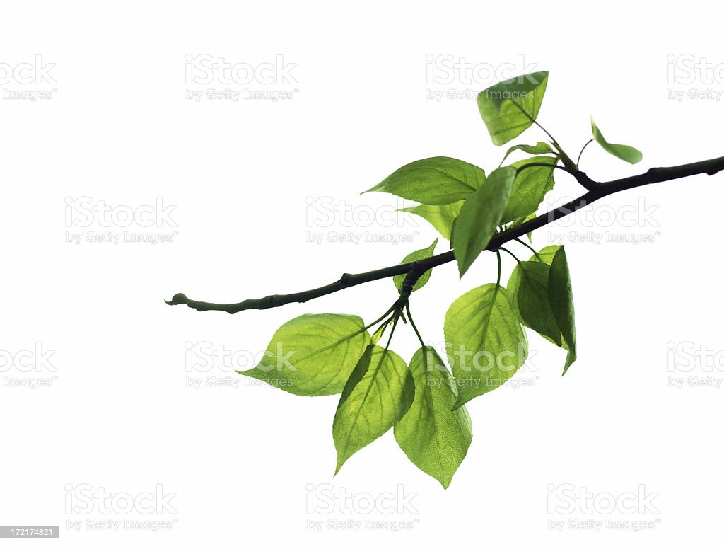 A branch showing green fresh leaves royalty-free stock photo