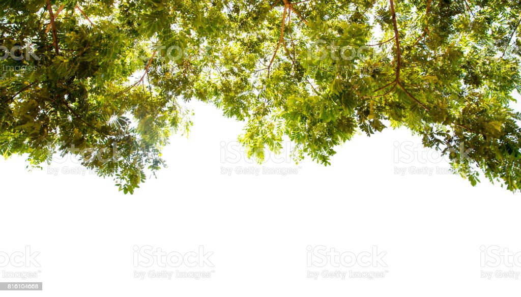 branch tree on white  background stock photo
