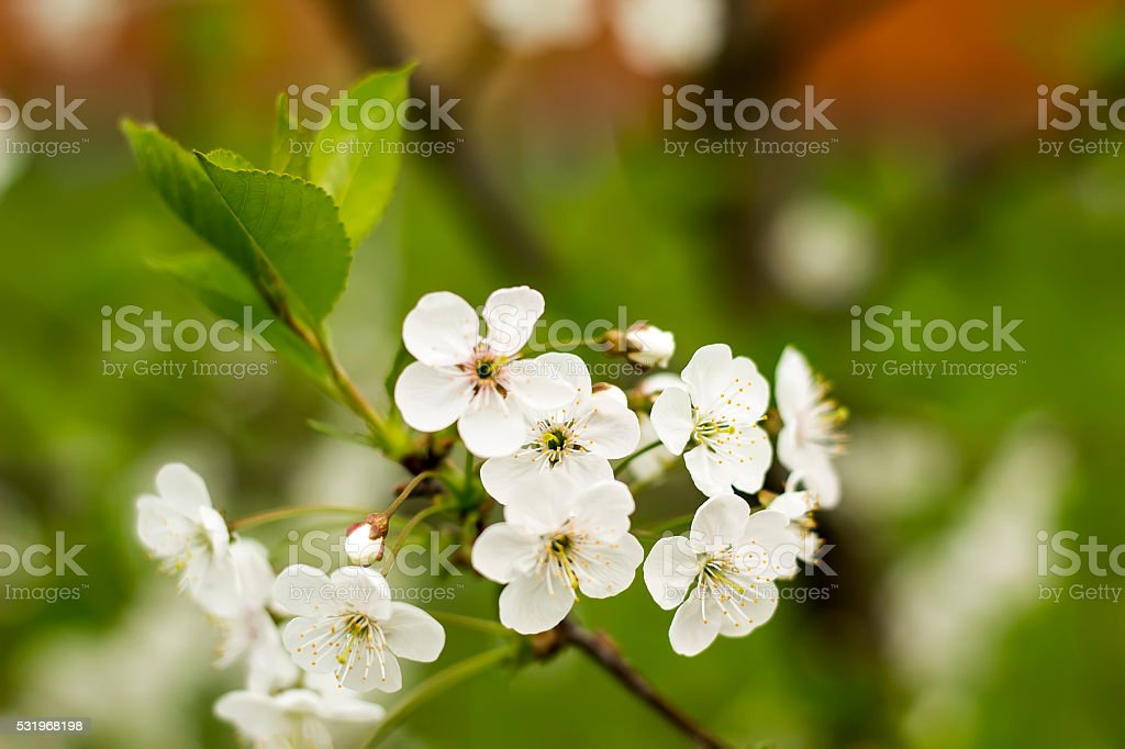 branch with a lot of white  flowers royalty-free stock photo