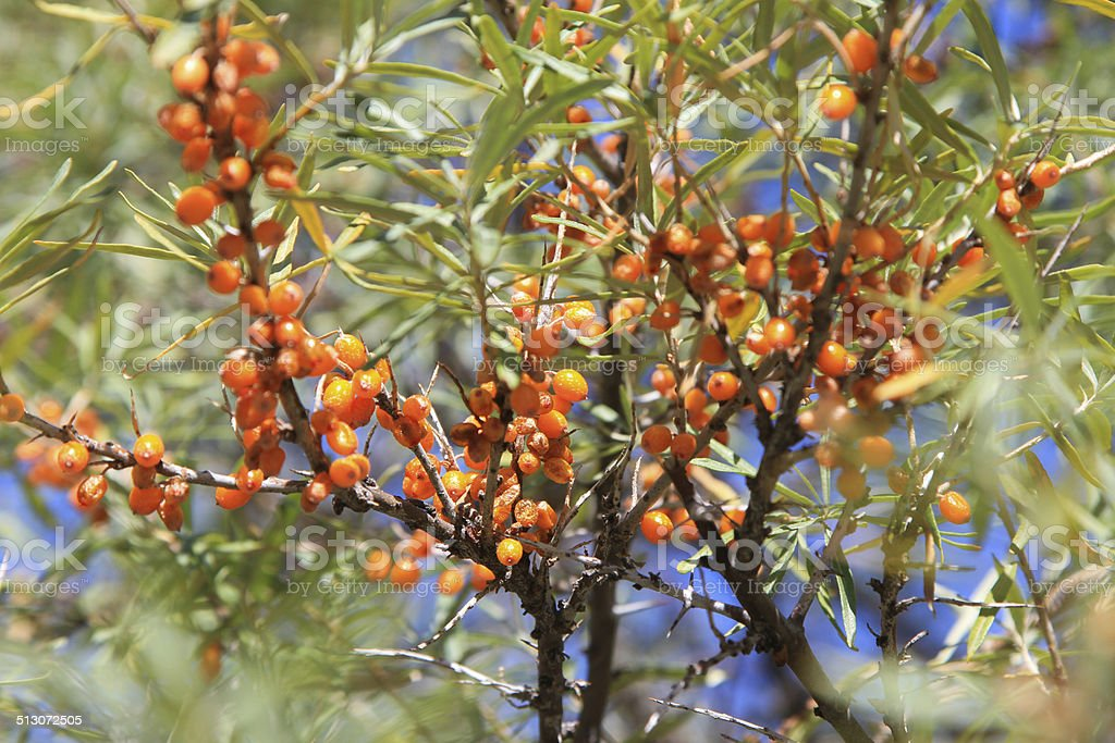 branch with berries of sea buckthorn stock photo