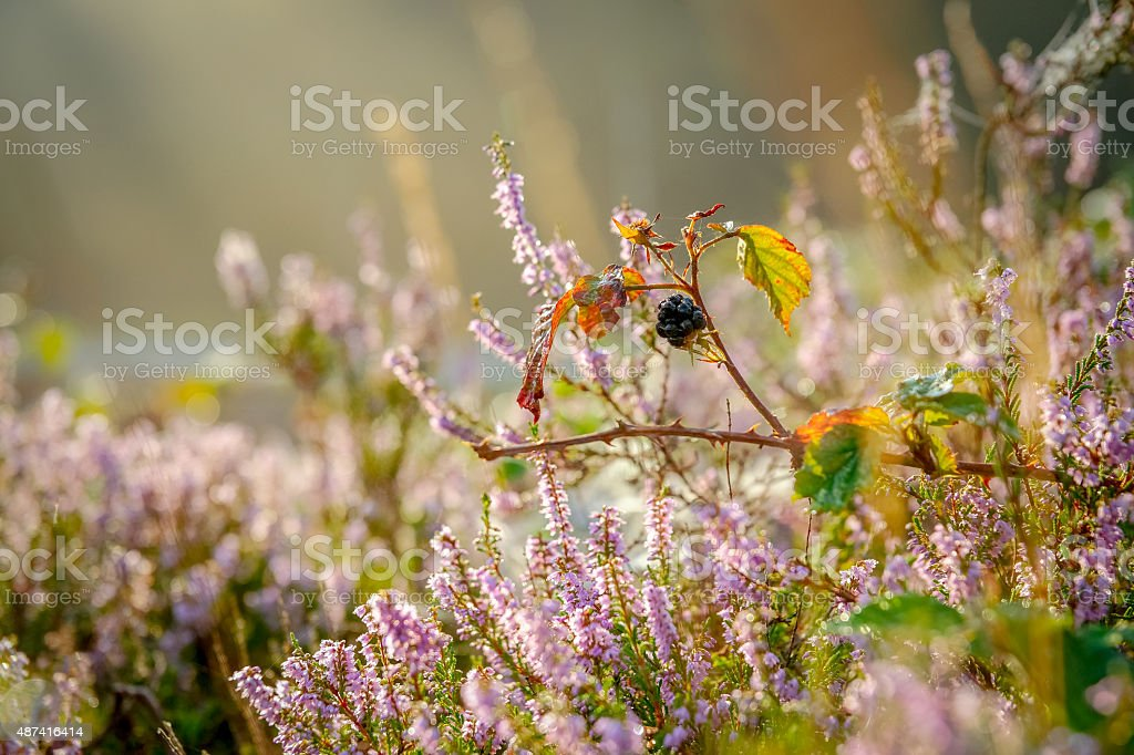 Branch with  black riping brambleberries stock photo