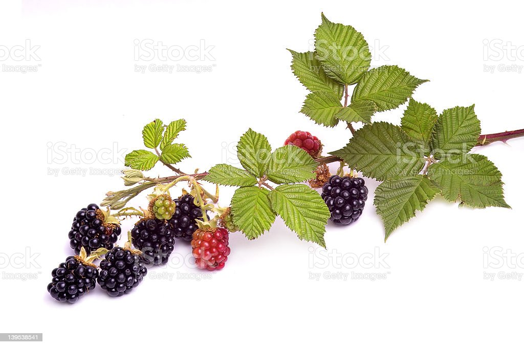 Branch with blackberries stock photo