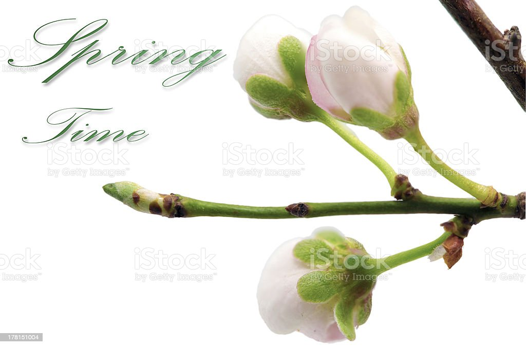 Branch with blossoms. Isolated on white background. royalty-free stock photo