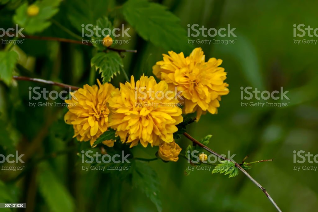 Branch  with bunch bloom and leaf of  yellow Kerria japonica at springtime in garden stock photo