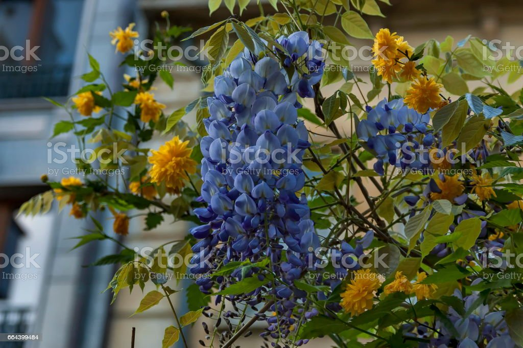 Branch  with bunch purple bloom and leaf of wisteria tree and  yellow Kerria japonica stock photo