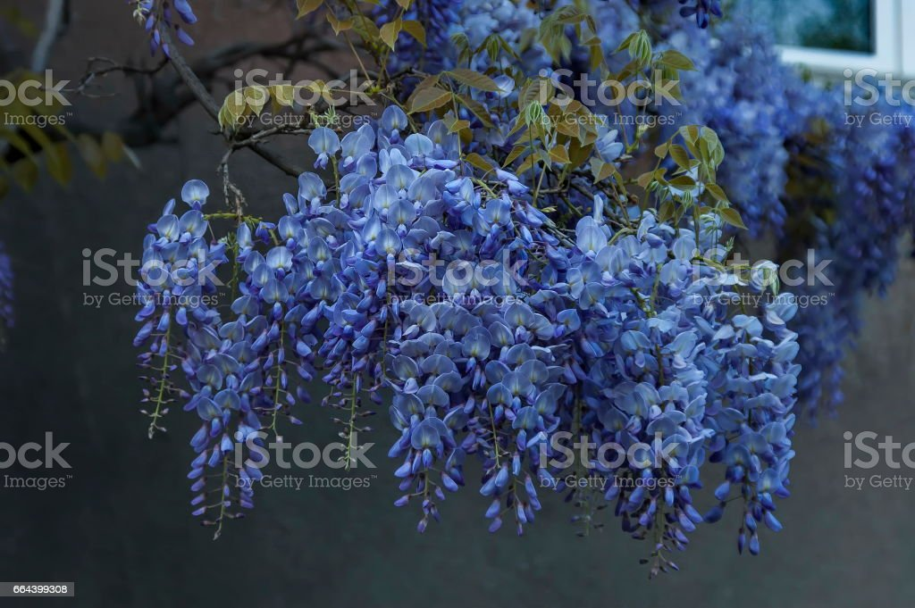 Branch with bunch purple bloom and leaf of wisteria tree at springtime in garden, Sofia stock photo