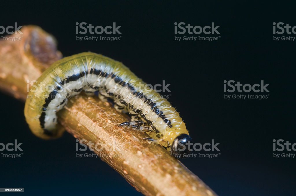 branch with caterpillar stock photo
