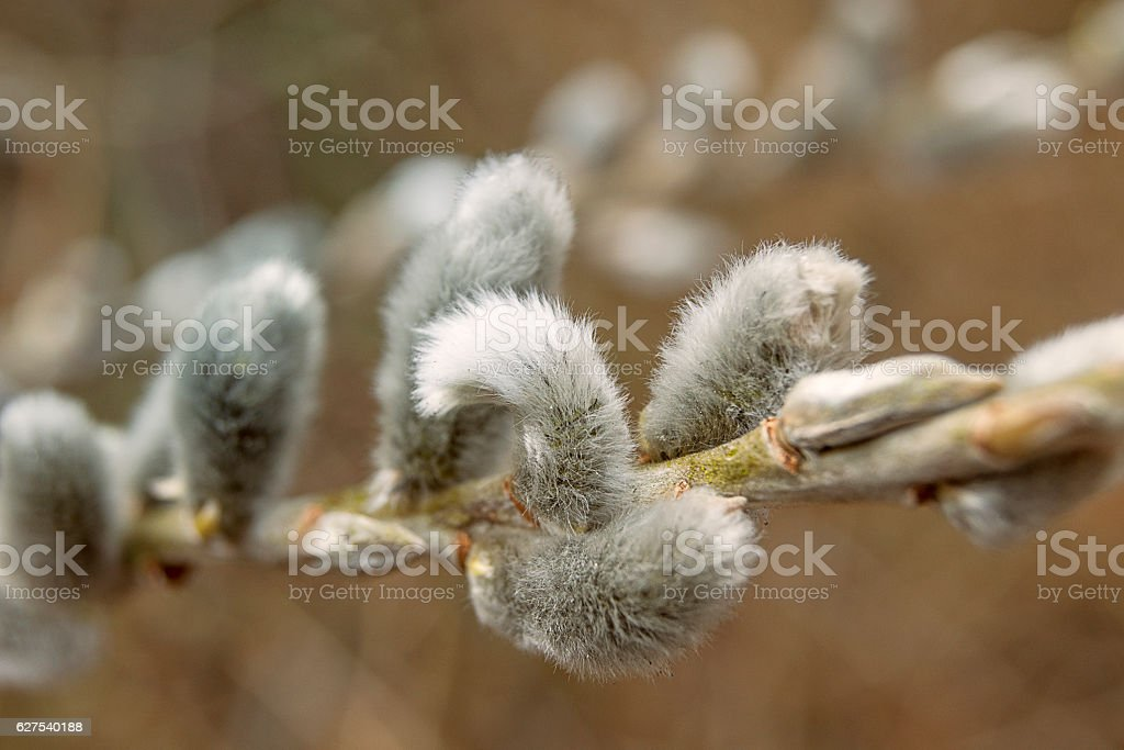 Branch with Catkins stock photo