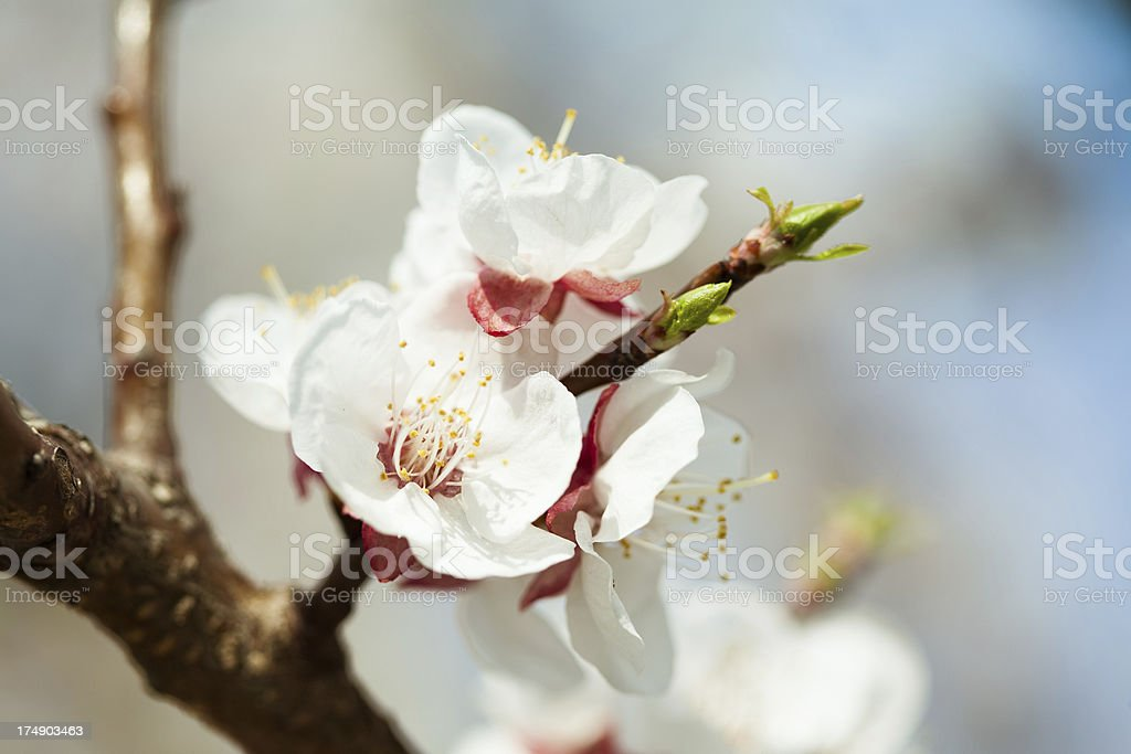 Branch with cherry blossom royalty-free stock photo