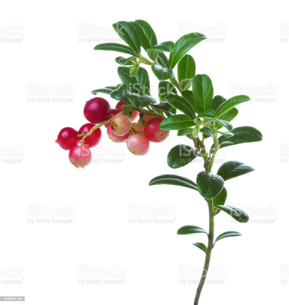 Branch with cowberry berries isolated on white background. stock photo