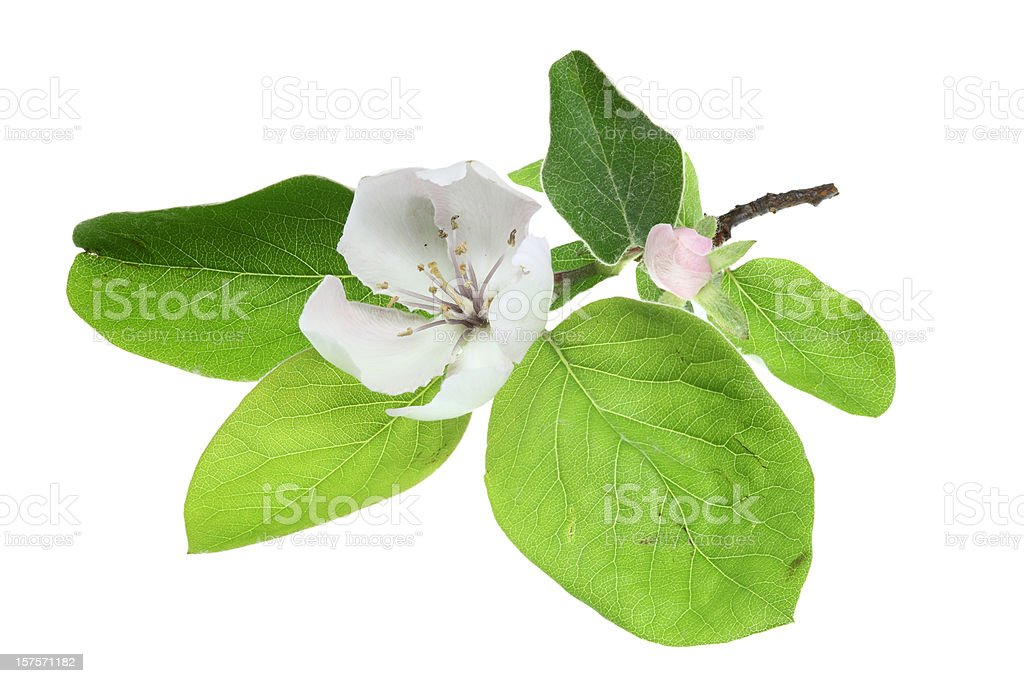 branch with flowering quince isolated on white stock photo