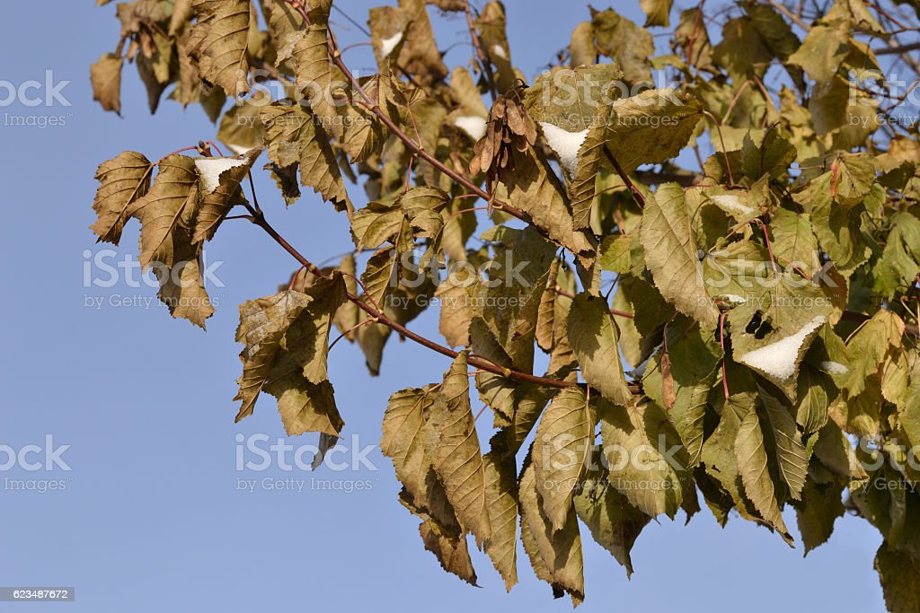 Branch with frozen leaves. stock photo