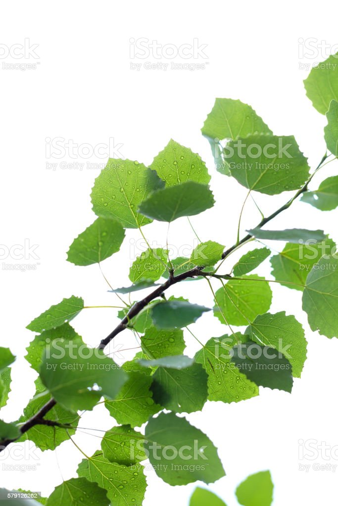 Branch with green leaves isolated on white background stock photo