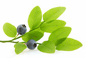 Branch with huckleberries, isolated