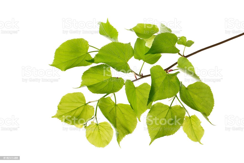 branch with leaves (poplar isolated) stock photo