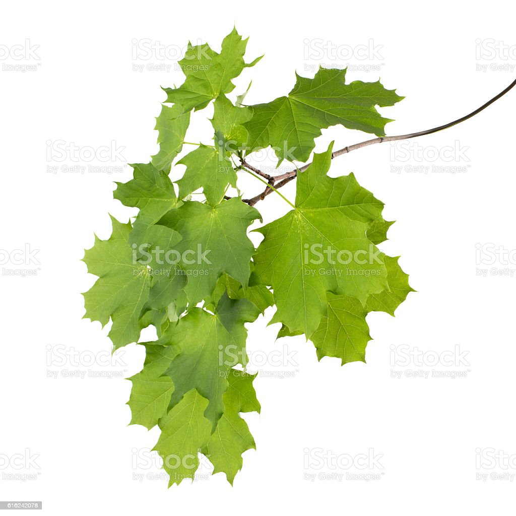 branch with leaves (maple isolated) stock photo