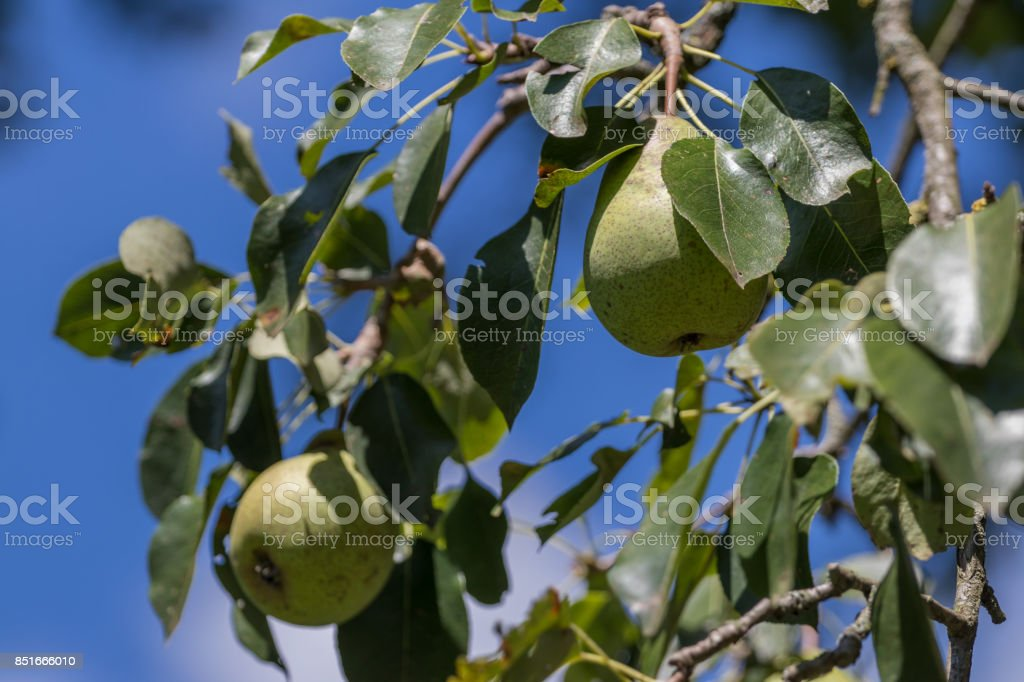 Branch with many ripe pears stock photo