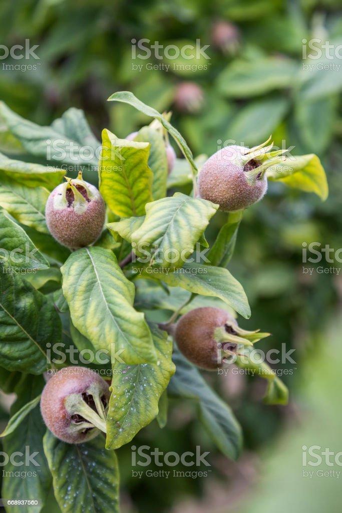 Branch with medlars, medlar growing 2 stock photo