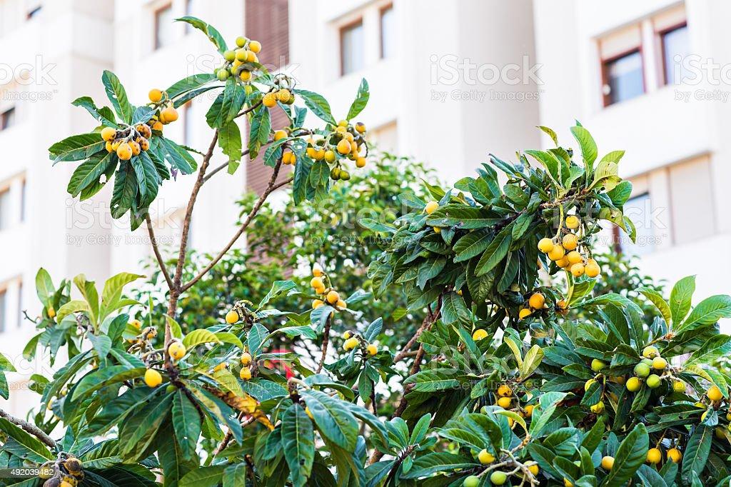 Branch with medlars, medlar growing.  Turkish loquat stock photo
