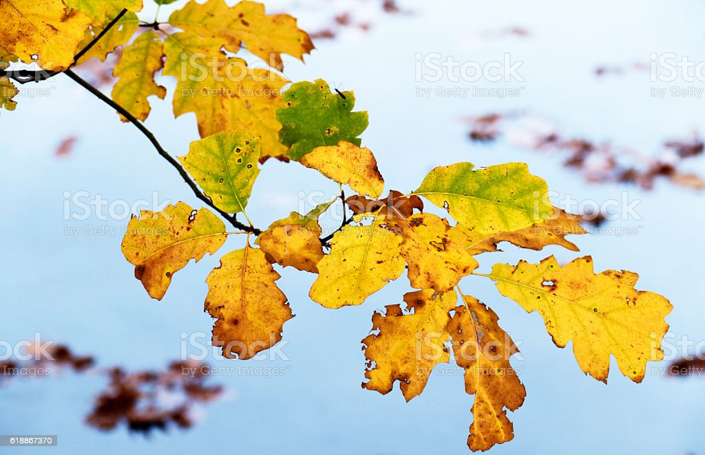 Branch with oak leaves in autumn stock photo