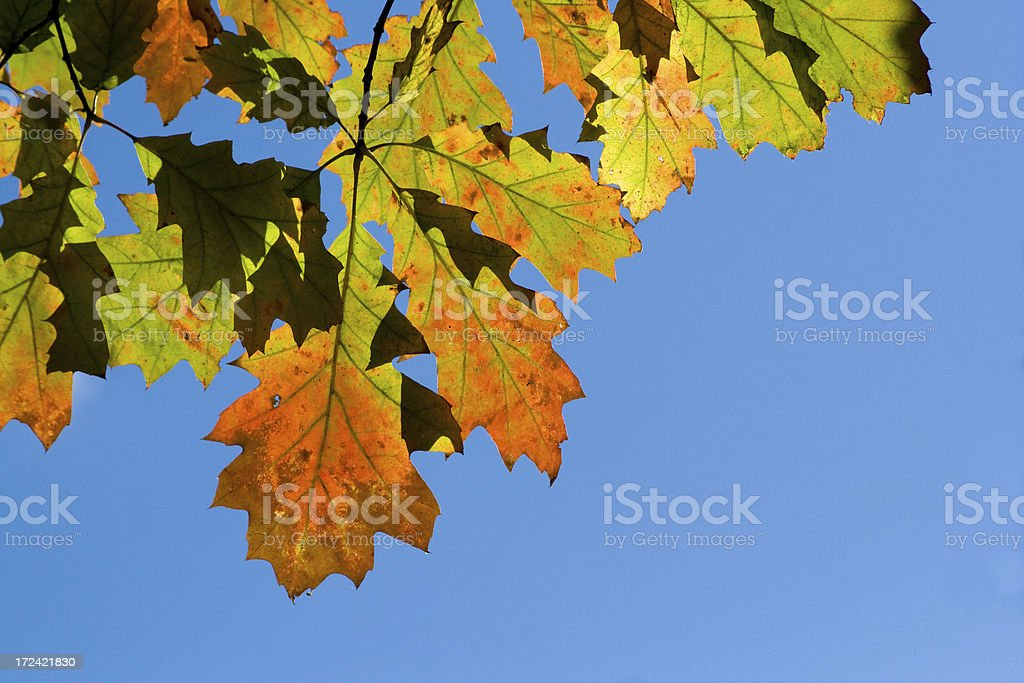 Branch with oak leaves royalty-free stock photo