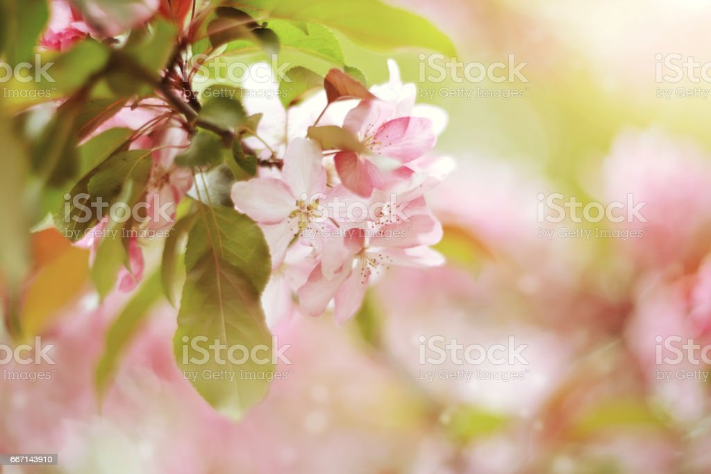 Branch with pale pink flowers of Apple tree stock photo