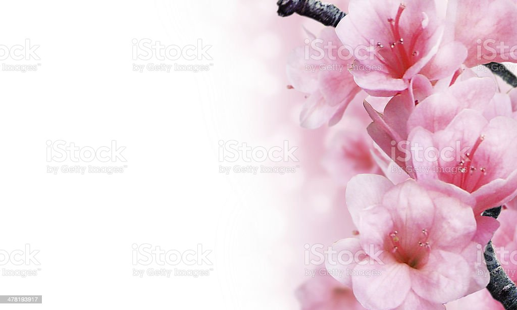 Branch with pink blossoms. stock photo