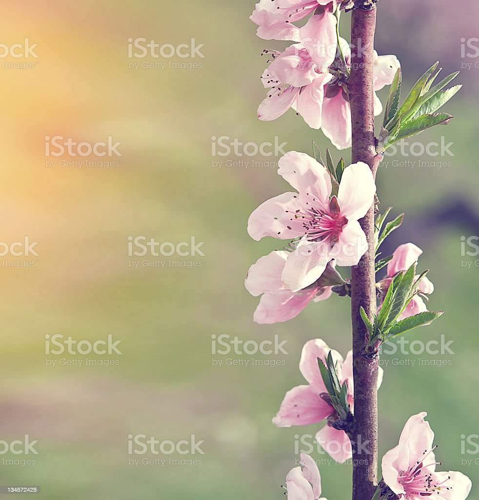 branch with pink flowers royalty-free stock photo