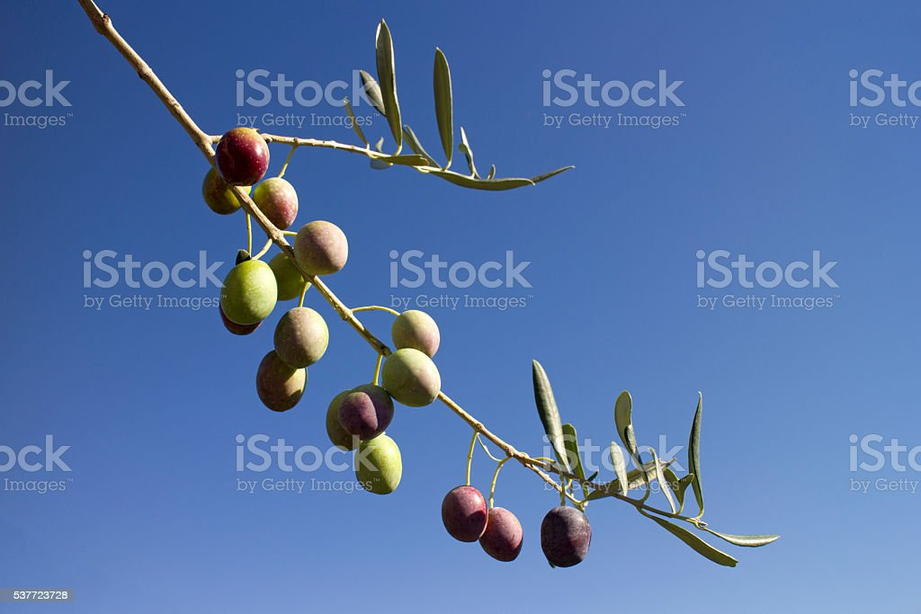 Branch with ripe olives stock photo