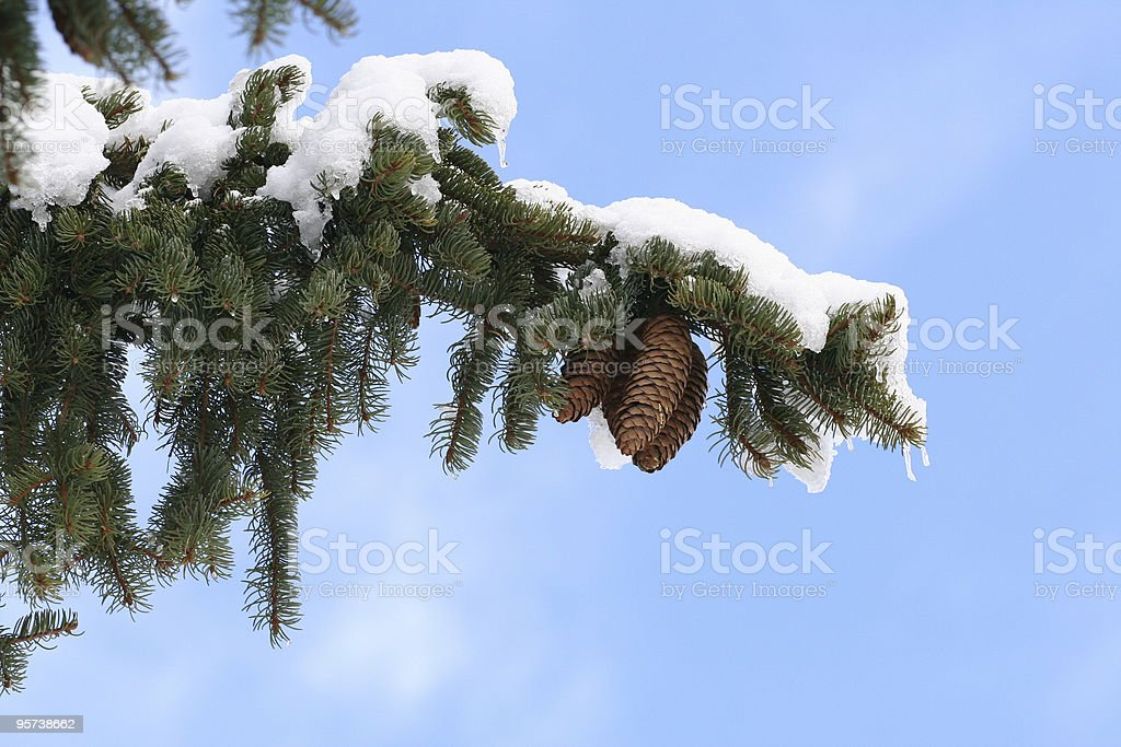 branch with snow royalty-free stock photo