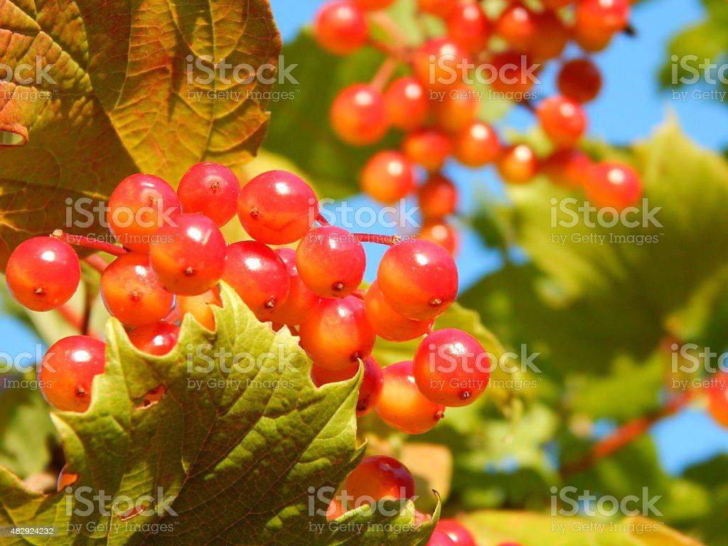 Branch with Underripe Berries of Viburnum stock photo