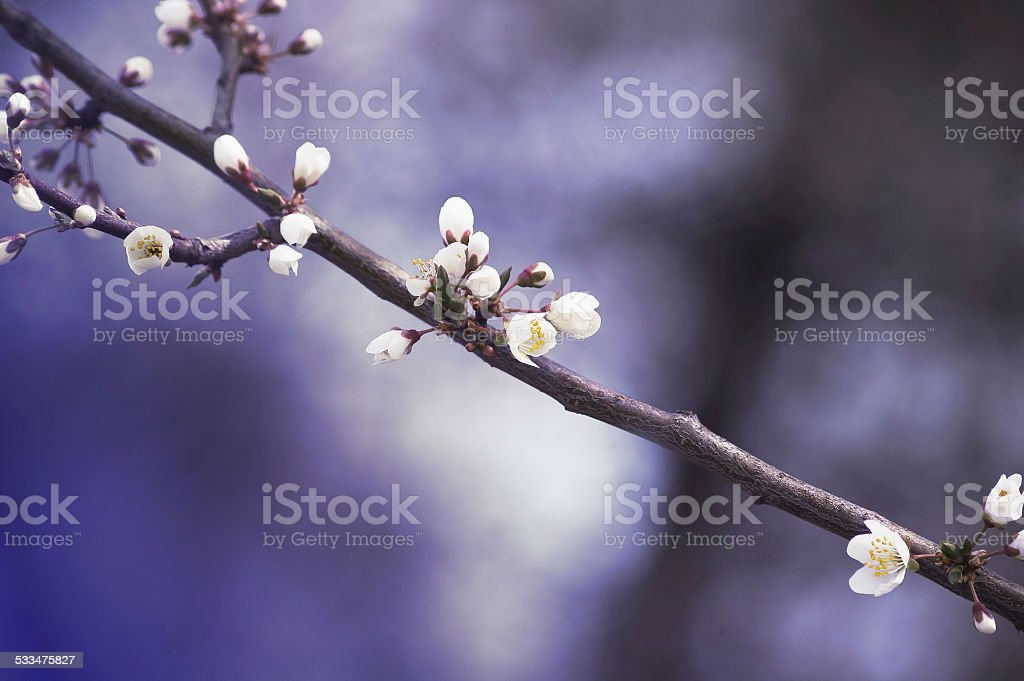 Branch with white cherry flowers on a blue spring background stock photo