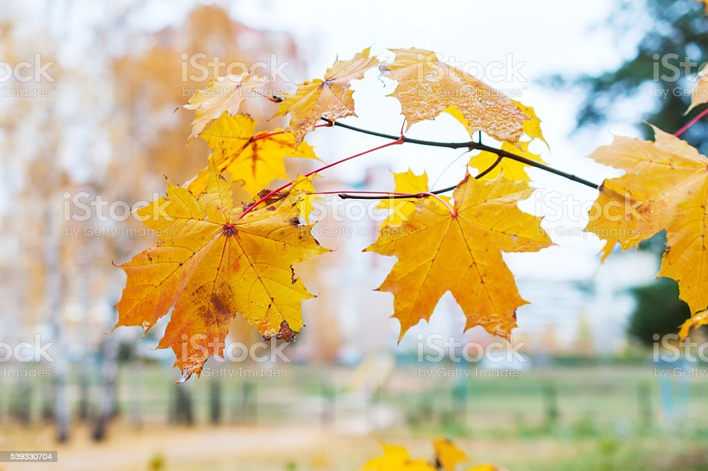 Branch with withered yellow maple leaf. stock photo