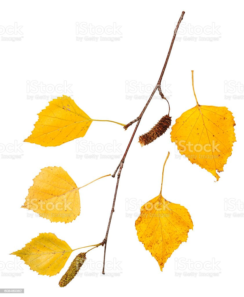 branch with yellow autumn leaves of birch tree stock photo