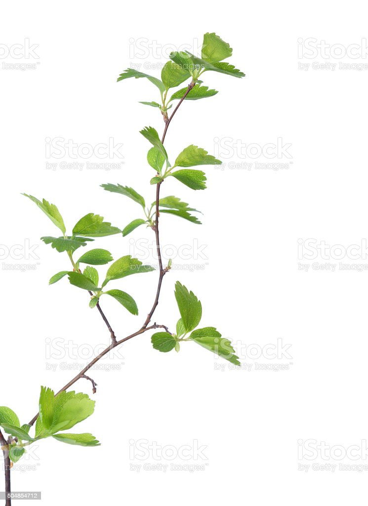 Branch with young green spring leaves. stock photo